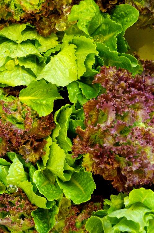 Fresh spring lettuces