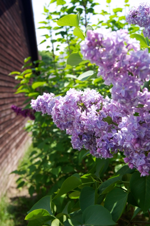 lilacs at home