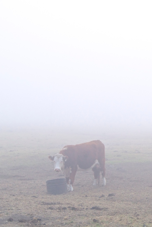 a suspicious cow in big sur
