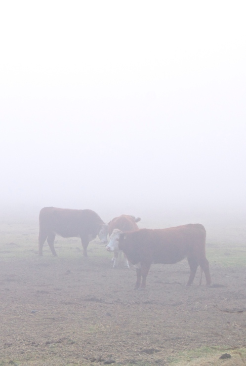 big sur fog cows