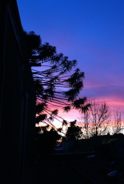 Chez Panisse's bunya bunya tree at sunset