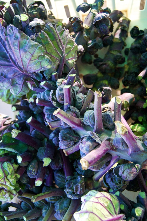purple (!!) brussel sprouts at green string farm
