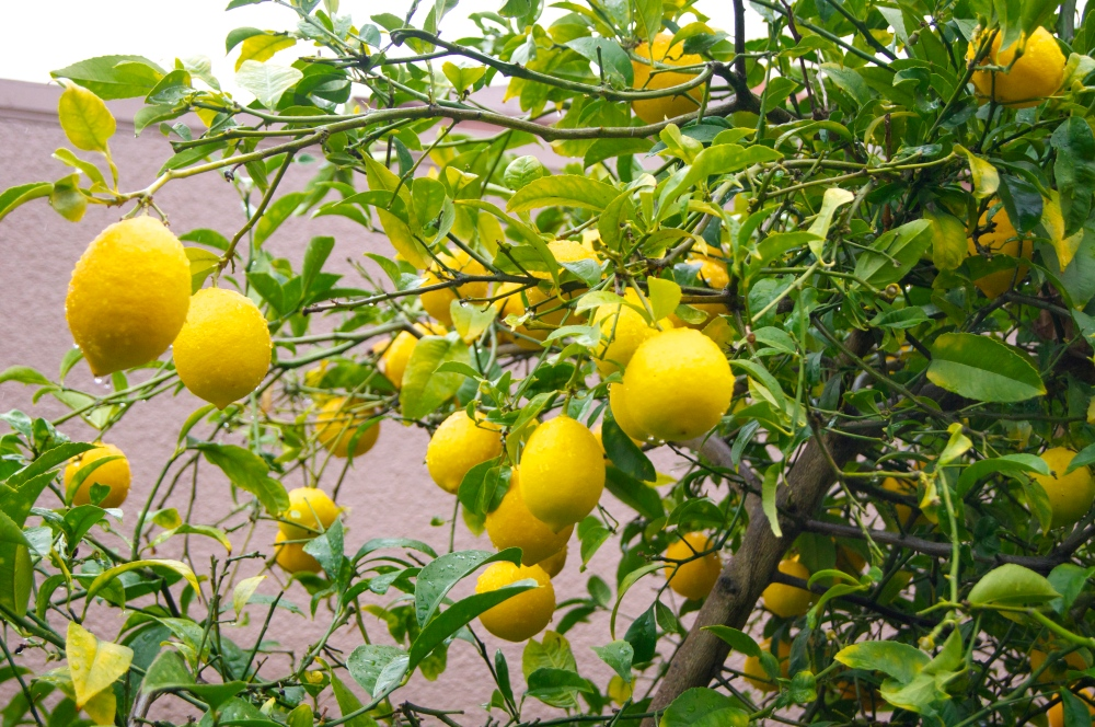 backyard meyer lemon tree