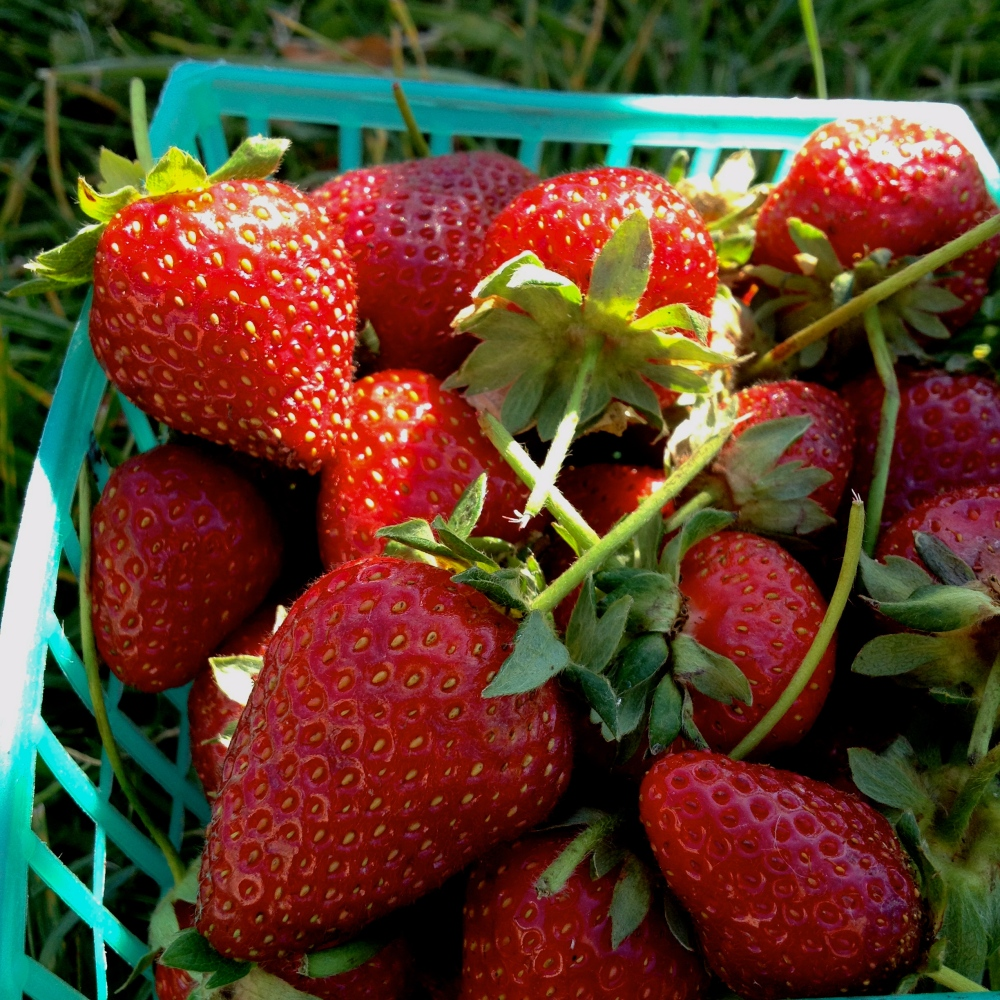first of the season strawberries!
